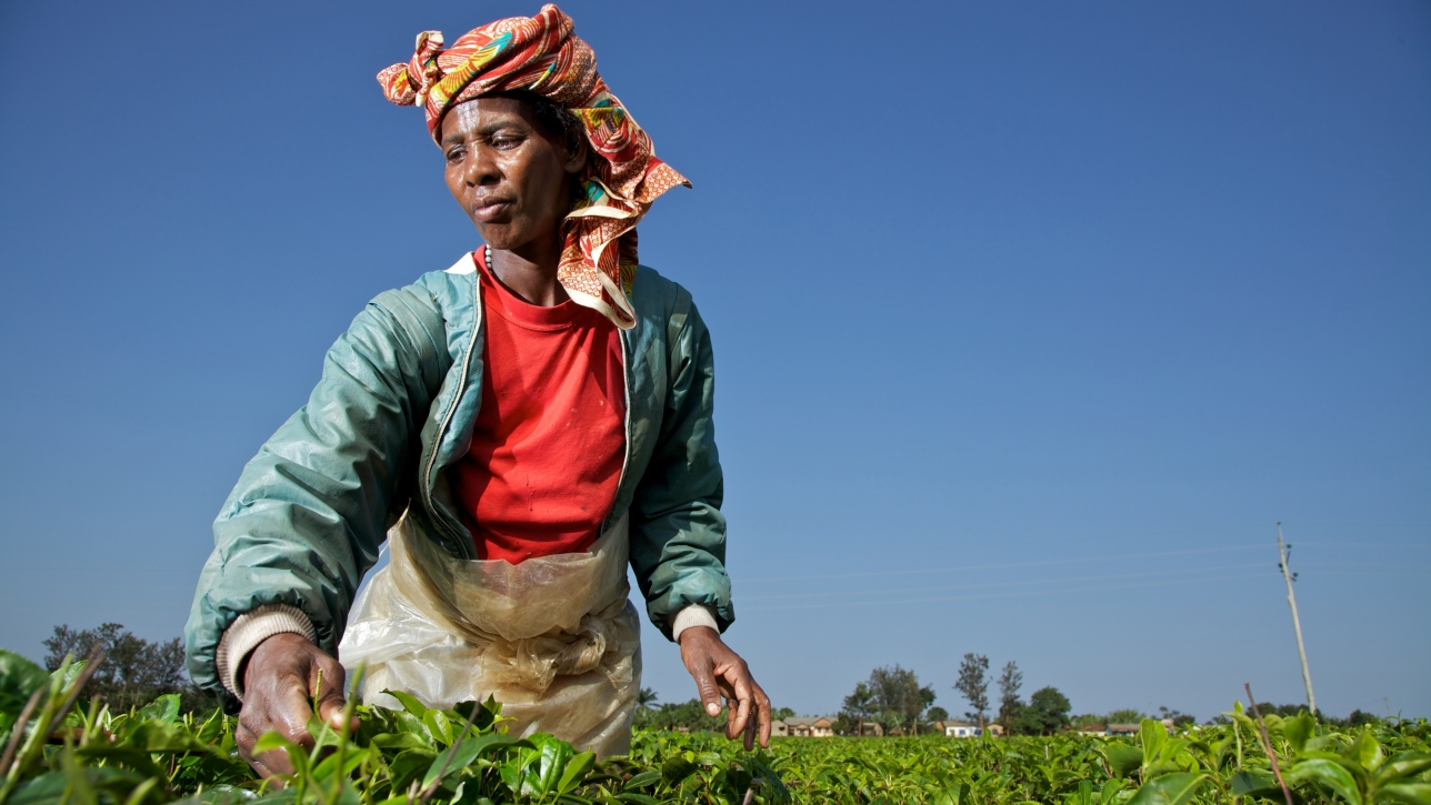 Rwandan Tea Sector