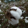 Tanzanian Cotton Programme: Our Changing Approach