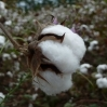 Tanzania Cotton Programme: Summary