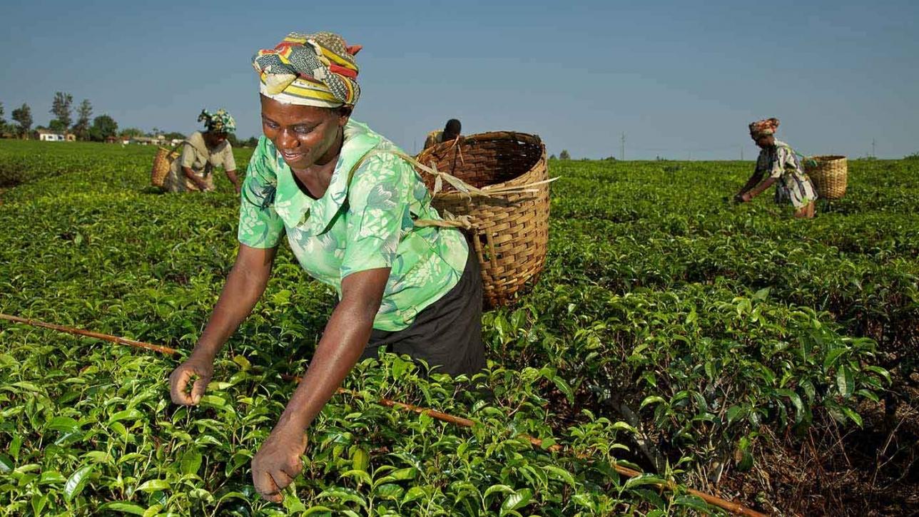 Tanzanian Tea Sector | Africa | Gatsby